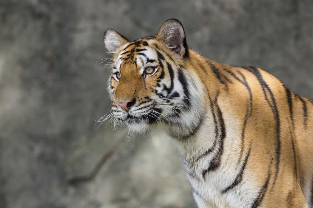 Tiger - iStock_000063433975_Medium