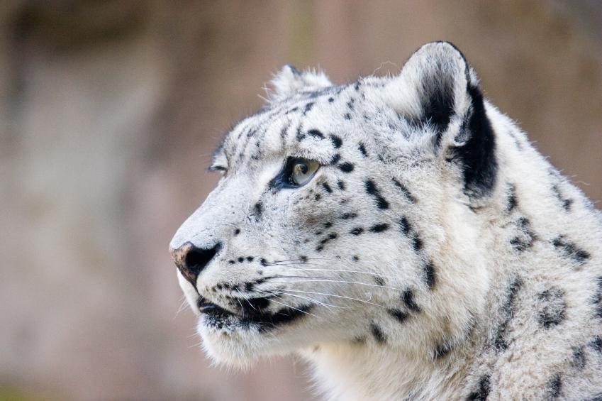 snow leopard iStock_000013242541_Small