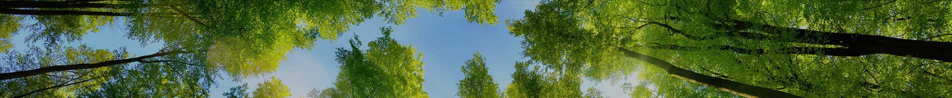 trees viewed from below with blue sky above
